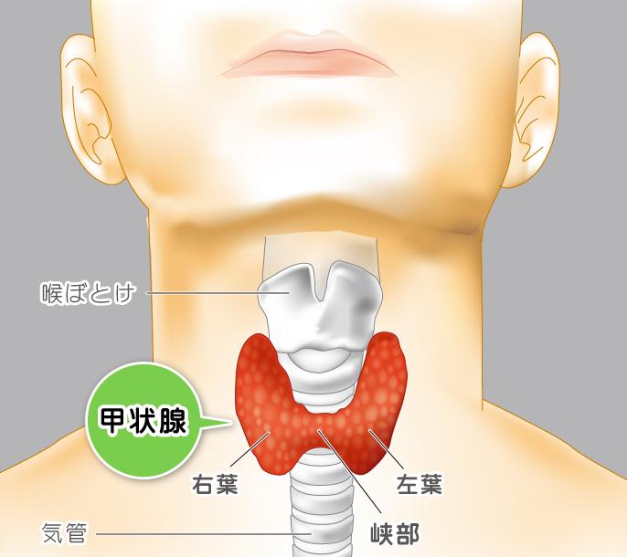 甲状腺の位置